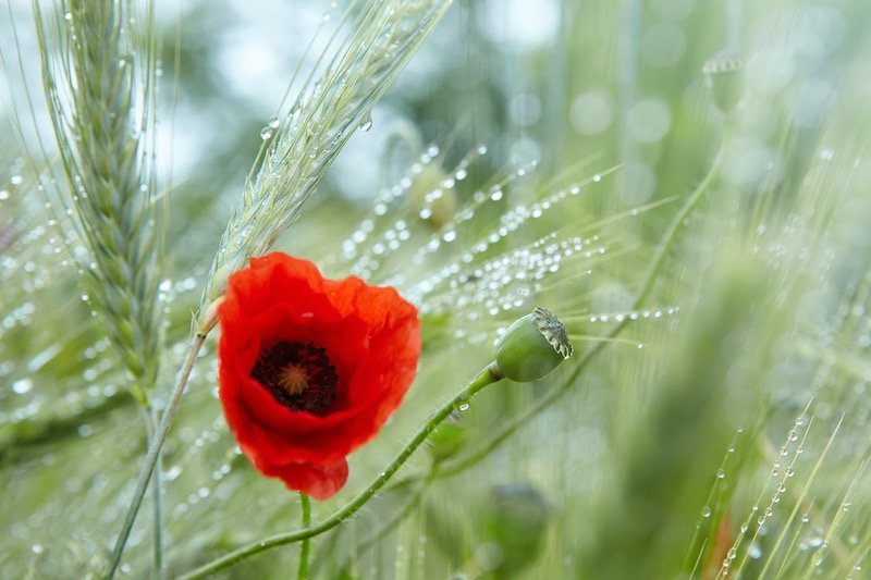 Red poppy with dew drops after the rain in a green barley field. Closeup of rain drops on poppy flower